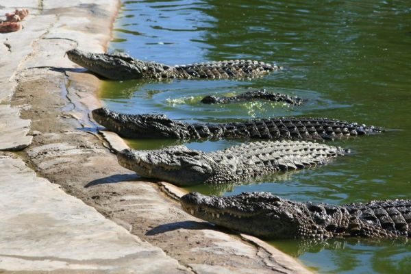 ferme-crocodiles